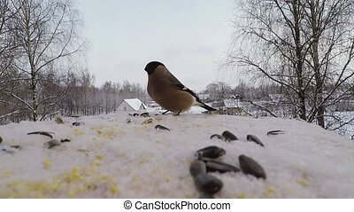 bullfinch pecks seeds in the bird feeder in winter -...