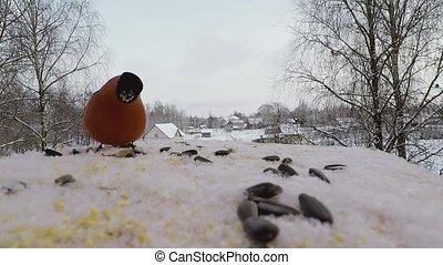 bullfinch pecks seeds in the bird feeder in winter -...