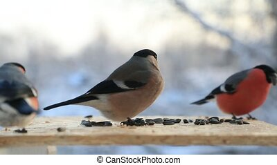bullfinch pecks sunflower seeds in the bird feeder in...