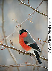 bullfinch perched on a branch, close up photo