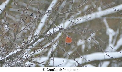 Bullfinch sit on a tree branch and eat. Winter birds and falling snow.