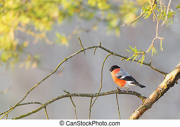Bullfinch sitting on a sunlit branch