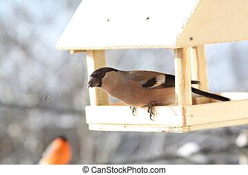 bullfinch., vinter, kvinnlig, dag