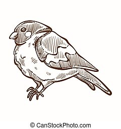 Bullfinch winter bird with plumage monochrome sketch outline...