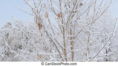 Bullfinches on the tree