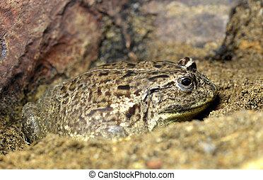 bullfrog, afrikansk, skälmskt naturväxen, frog., eller