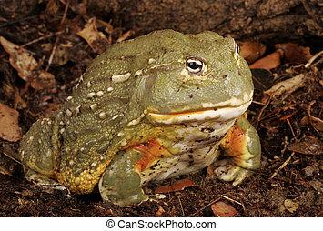bullfrog., afrikansk