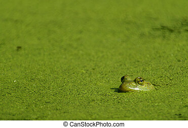 A Bullfrog in a pond covered with algae.