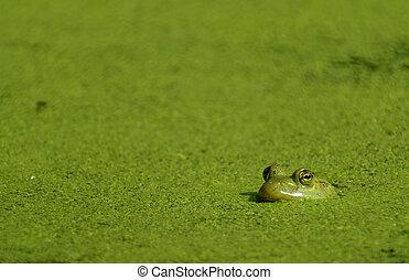 Bullfrog & Algae - A Bullfrog in a pond covered with algae.