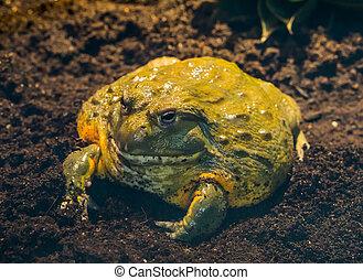 bullfrog, cielna, afryka, tropikalny, closeup, afrykanin, amfibia