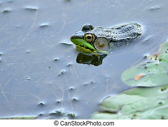 Bullfrog floating in a swamp waiting for prey.