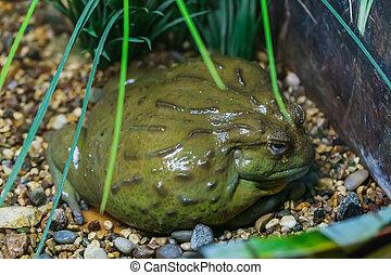 bullfrog, gigant, afrikansk