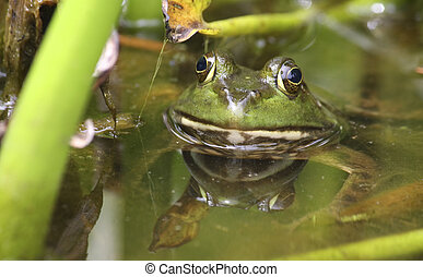 Bullfrog in the swamp.