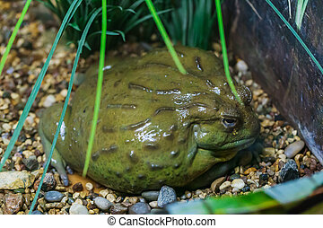 bullfrog, olbrzym, afrykanin