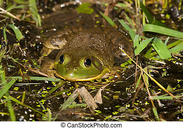 Bullfrog on a pond - A bullfrog sits at the edge of a pond ...