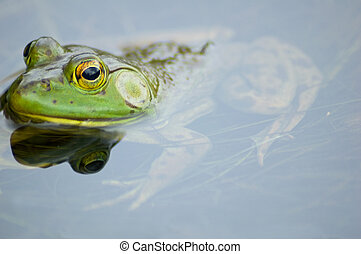 Bullfrog on the water plants in small river