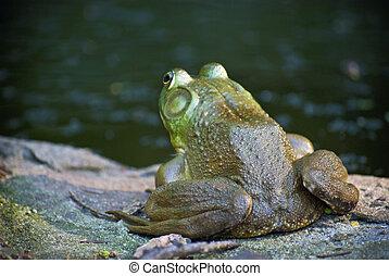 Bullfrog on Watch