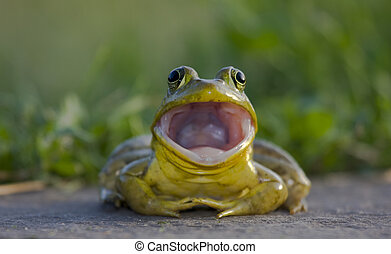 Bullfrog Portrait - Bullfrog with the mouth wide open.