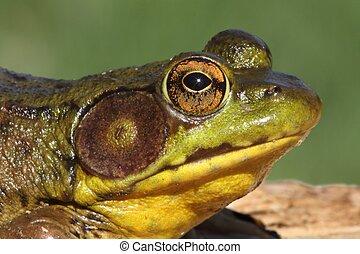 Bullfrog (Rana catesbeiana) in early spring