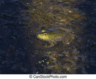 Bullfrog sitting in a pond