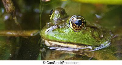 Bullfrog in the swamp