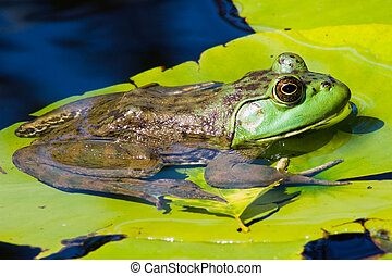 A bullfrog resting upon a lilypad on the water.