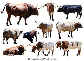 bulls., 隔離された, セット, 白, 上に