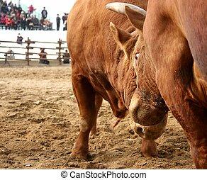 Bulls clashing horns