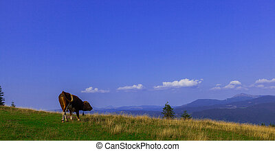 Bulls high in the mountains graze in summer