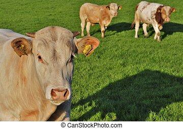 bulls in a meadow