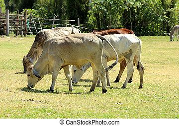 Bulls in a Pasture