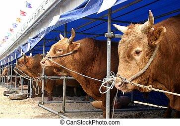 Bulls