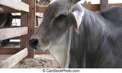 Bulls, Steers, Cattle, Farm Animals