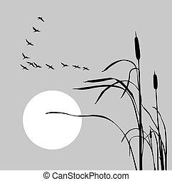 bulrush, 群, 鵝, 圖畫