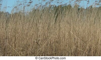 Bulrush at the wind - Cattail reeds background