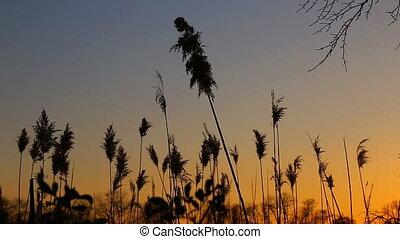 bulrush, gros plan, nuages, ciel, contre, coucher soleil, roseau, vent