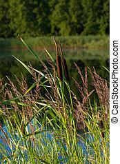 bulrush, (typha, latifolia), アシ