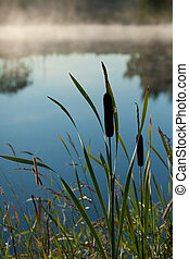 bulrush, (typha, latifolia)