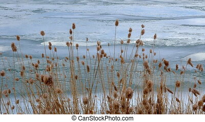 bulrush yellow on frozen lake