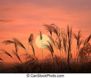 bulrushes against sunlight over sky background in sunset