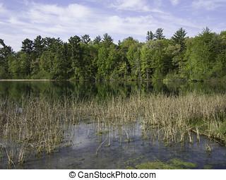 Marl Lake - Bulrushes growing at springs at Marl Lake,...
