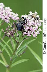 Bumble and Honey Bee on Milkweed Flower - Bumble Bee and...