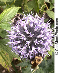 Bumble bee bee and globe thistle - Insect on flower bumble ...