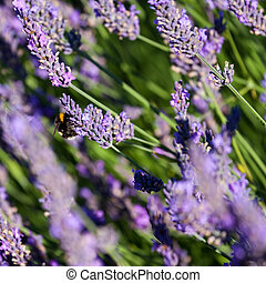 Bumble Bee collecting pollen from Lavender flowers