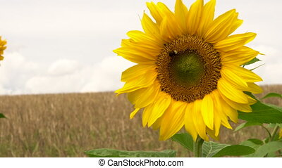 Bumble bee collecting pollen on a sunflower - 4K video clip...
