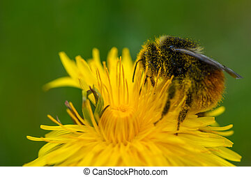 bumble bee collecting pollen on yellow dandelion flower