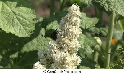 Bumble bee collects nectar on flower Sorbaria