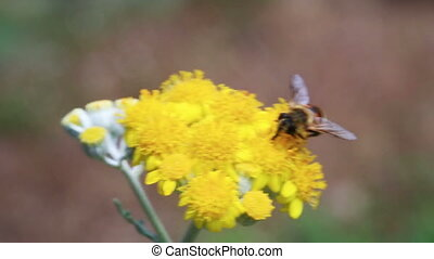 Bumble bee collects nectar in yellow flowers in summer herb...