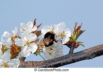 Bumble bee collects nectar on blooming apple tree