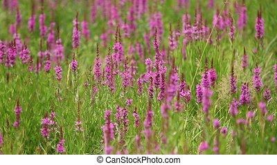 bumble bee gather nectar - shaggy bumblebees gather nectar...